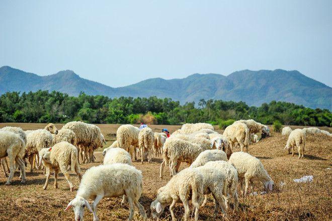 Đồng cừu Bình Châu sở hữu vẻ đẹp ấn tượng.