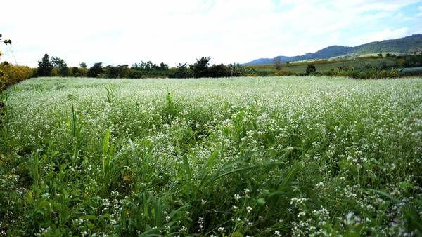 Cánh đồng hoa cải ở Đà Lạt